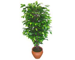 Ficus Benjamin 1,50 cm   Çorum çiçek online çiçek siparişi