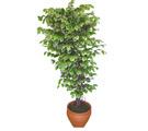 Ficus özel Starlight 1,75 cm   Çorum uluslararası çiçek gönderme