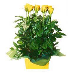 11 adet sari gül aranjmani  Çorum İnternetten çiçek siparişi