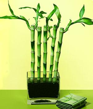 Çorum çiçek online çiçek siparişi  Good Harmony Lucky Bamboo camda