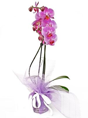 Çorum çiçek online çiçek siparişi  Kaliteli ithal saksida orkide