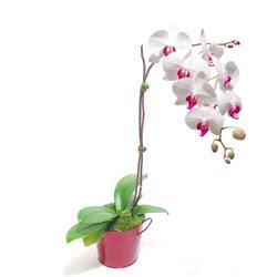 Çorum çiçek satışı  Saksida orkide