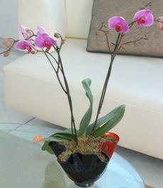 Çorum internetten çiçek satışı  tek dal ikili orkide saksi çiçegi