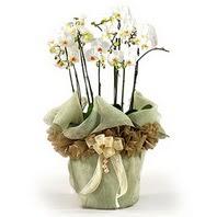 Çorum çiçekçiler  3 dal orkide , saksi çiçegi , 3 kök orkide