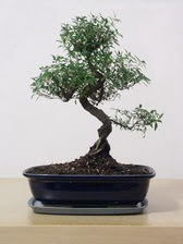 ithal bonsai saksi çiçegi  Çorum cicek , cicekci