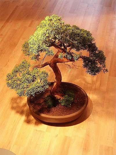 ithal bonsai saksi çiçegi  Çorum güvenli kaliteli hızlı çiçek