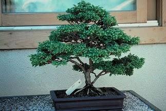 ithal bonsai saksi çiçegi  Çorum hediye sevgilime hediye çiçek