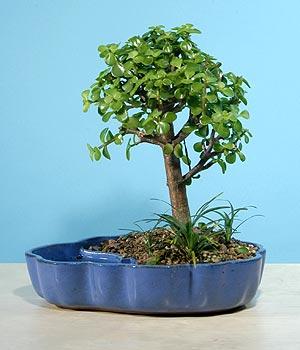 ithal bonsai saksi çiçegi  Çorum çiçek siparişi vermek