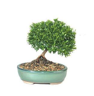 ithal bonsai saksi çiçegi  Çorum 14 şubat sevgililer günü çiçek