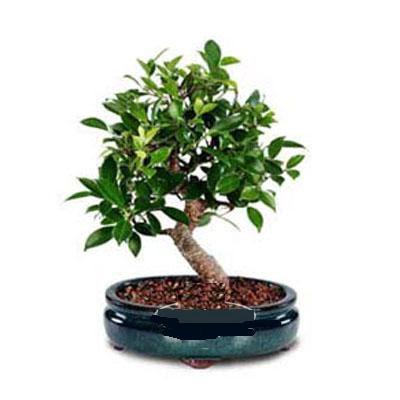 ithal bonsai saksi çiçegi  Çorum çiçekçiler