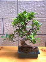 ithal bonsai saksi çiçegi  Çorum çiçek servisi , çiçekçi adresleri