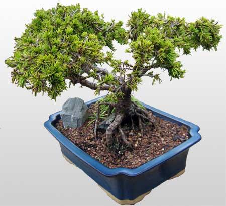ithal bonsai saksi çiçegi  Çorum internetten çiçek satışı