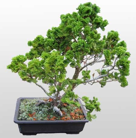ithal bonsai saksi çiçegi  Çorum çiçek yolla
