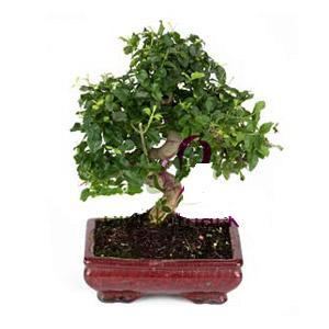 ithal bonsai saksi çiçegi  Çorum çiçek online çiçek siparişi
