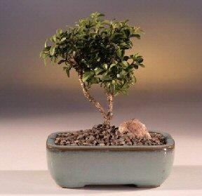 Çorum çiçekçi telefonları  ithal bonsai saksi çiçegi  Çorum internetten çiçek siparişi