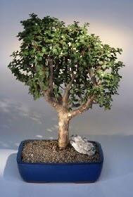 Çorum çiçek satışı  ithal bonsai saksi çiçegi  Çorum çiçek siparişi vermek