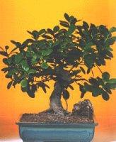 Çorum çiçek , çiçekçi , çiçekçilik  ithal bonsai saksi çiçegi  Çorum online çiçek gönderme sipariş