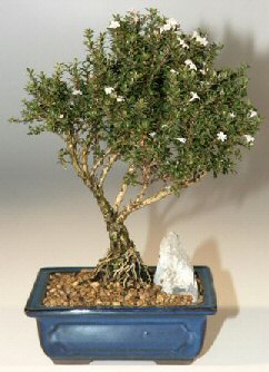 Çorum hediye çiçek yolla  ithal bonsai saksi çiçegi  Çorum cicekciler , cicek siparisi