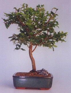 Çorum çiçekçi mağazası  ithal bonsai saksi çiçegi  Çorum çiçek online çiçek siparişi