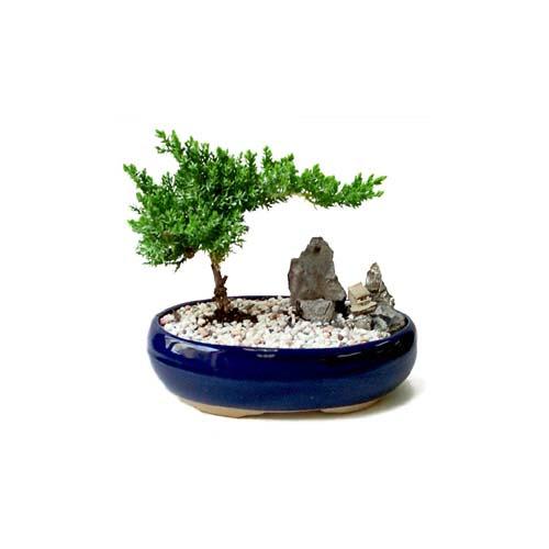 ithal bonsai saksi çiçegi  Çorum çiçek satışı
