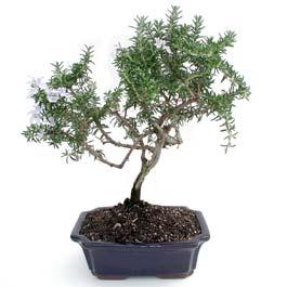 ithal bonsai saksi çiçegi  Çorum çiçek , çiçekçi , çiçekçilik