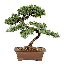 ithal bonsai saksi çiçegi  Çorum çiçek gönderme