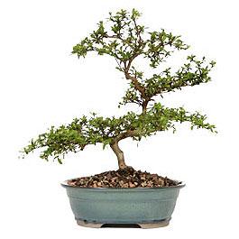 Çorum çiçek yolla  ithal bonsai saksi çiçegi  Çorum çiçek gönderme
