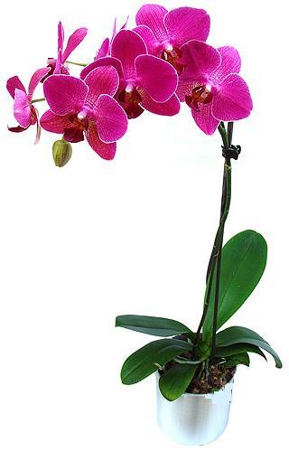 Çorum internetten çiçek satışı  saksi orkide çiçegi