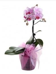 1 dal pembe orkide saksı çiçeği  Çorum yurtiçi ve yurtdışı çiçek siparişi