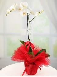 1 dal beyaz orkide saksı çiçeği  Çorum çiçek yolla , çiçek gönder , çiçekçi