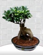 saksı çiçeği japon ağacı bonsai  Çorum yurtiçi ve yurtdışı çiçek siparişi