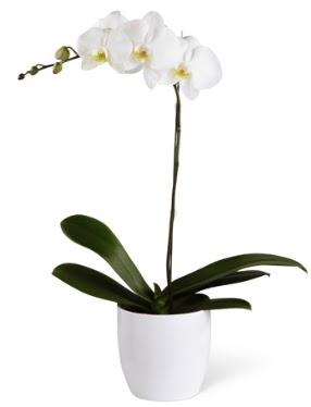 1 dallı beyaz orkide  Çorum hediye sevgilime hediye çiçek