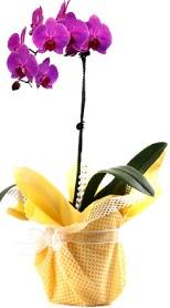 Çorum çiçekçiler  Tek dal mor orkide saksı çiçeği