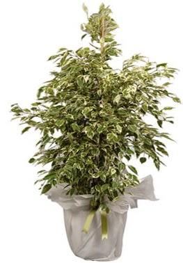 Orta boy alaca benjamin bitkisi  Çorum internetten çiçek siparişi