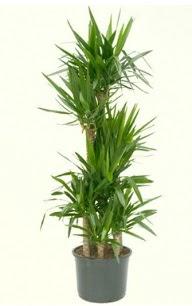 7 li yucca saksı bitkisi  Çorum kaliteli taze ve ucuz çiçekler