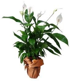 Orta boy barış çiçeği limon çiçeği  Çorum online çiçek gönderme sipariş
