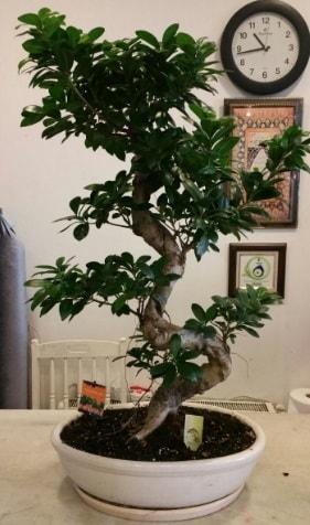 100 cm yüksekliğinde dev bonsai japon ağacı  Çorum çiçek yolla