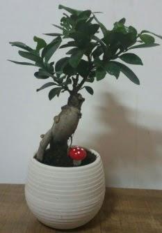 Bonsai japon ağacı saksı çiçeği  Çorum çiçek gönderme