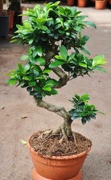 Orta boy bonsai saksı bitkisi  Çorum online çiçek gönderme sipariş