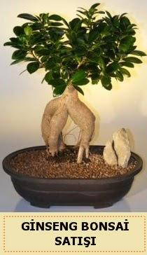 İthal Ginseng bonsai satışı japon ağacı  Çorum çiçekçiler