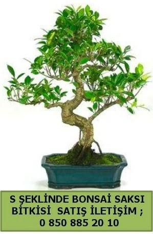 İthal S şeklinde dal eğriliği bonsai satışı  Çorum çiçek satışı