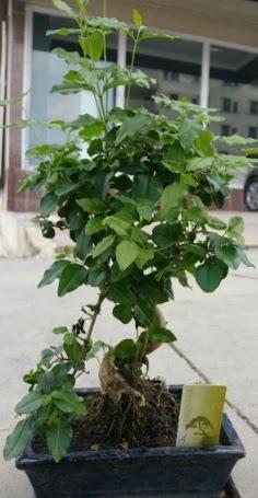 Bonsai japon ağacı saksı bitkisi  Çorum cicek , cicekci