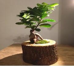 Doğal kütükte Bonsai japon ağacı satışı  Çorum internetten çiçek siparişi