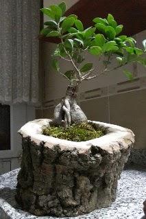 Ahşap kütük içerisinde ginseng bonsai  Çorum online çiçek gönderme sipariş