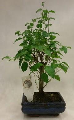 Minyatür bonsai japon ağacı satışı  Çorum çiçek , çiçekçi , çiçekçilik