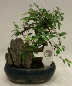İthal 1.ci kalite bonsai japon ağacı  Çorum ucuz çiçek gönder