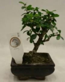 Küçük minyatür bonsai japon ağacı  Çorum çiçek satışı