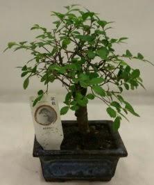 Minyatür ithal japon ağacı bonsai bitkisi  Çorum ucuz çiçek gönder