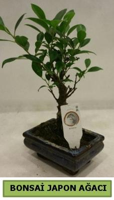 Bonsai japon ağacı saksı bitkisi  Çorum kaliteli taze ve ucuz çiçekler