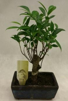 Japon ağacı bonsai bitkisi satışı  Çorum çiçek , çiçekçi , çiçekçilik